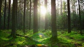Лучи Солнця делают их путь через толстый сосновый лес акции видеоматериалы