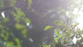 Лучи Солнця делают их путь через хворостину дерева с зелеными листьями, утра лета теплого, bokeh на заднем плане сток-видео