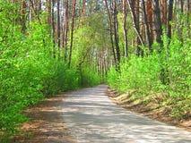 Лучи солнца в красивом сосновом лесе в лете Стоковые Изображения RF