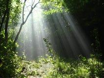 Лучи Солнця льют через деревья в туманном лесе Стоковые Изображения