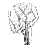 луч головки мозга артерий x Стоковые Фото