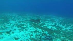 Луч орла скользя через воду в море ( акции видеоматериалы