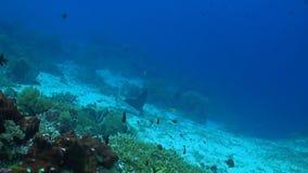 Луч орла на коралловом рифе акции видеоматериалы