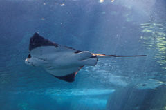 луч рыб Стоковые Изображения RF