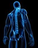 луч хребтовый x шнура анатомирования мыжской Стоковые Фотографии RF