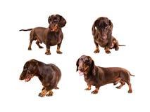 луч dachshund Стоковое Фото