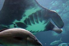 луч manta Стоковая Фотография RF
