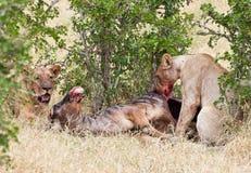 2 льва есть антилопу гну - запас игры национального парка selous в Танзании Восточной Африке Стоковая Фотография RF