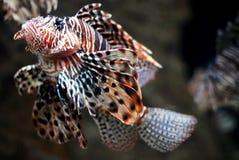 львев изолированный рыбами Стоковые Изображения