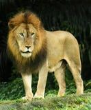 львев короля Стоковое Изображение RF