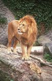 львев короля iv Стоковые Фотографии RF