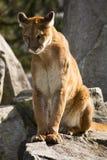 львев кугуара смотря prey горы Стоковое Изображение RF
