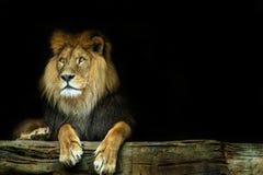 львев Лев сидя на утесе стоковое изображение rf