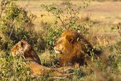 львев 2 любить пар Львы в саванне masai Кении mara Стоковое Фото