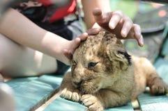 львев младенца милый Стоковое Изображение