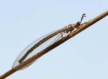 львев муравея Стоковое фото RF
