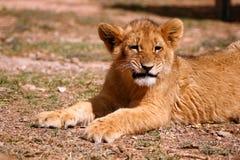 львев новичка милый Стоковые Изображения RF