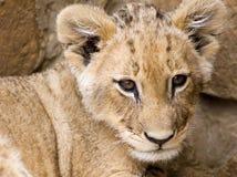львев новичка Стоковое Фото