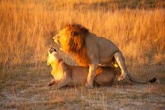 львев пар Стоковые Фотографии RF