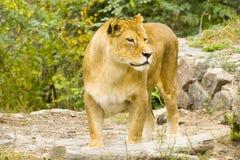 львев плена Стоковая Фотография