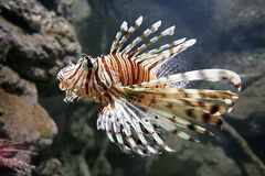львев рыб Стоковая Фотография RF