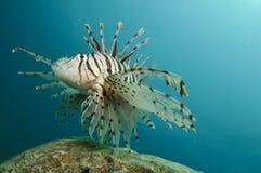 львев рыб стоковые изображения rf