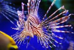 львев рыб Стоковые Фотографии RF