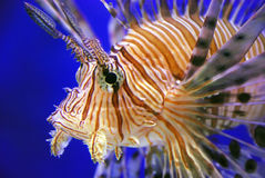 львев рыб Стоковое Изображение