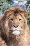 львев самолюбивый стоковое изображение