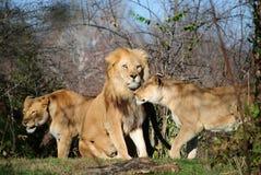 львев семьи Стоковая Фотография