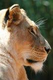львев стороны Стоковое Изображение RF