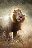 львев с трястить воду Стоковая Фотография