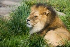львев травы Стоковое Изображение RF