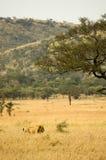львев 18 Стоковые Фотографии RF