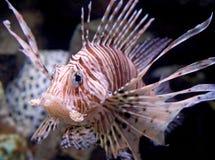 львев 3 рыб Стоковое фото RF