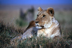львев стоковая фотография