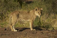 Львев Cub Стоковые Изображения