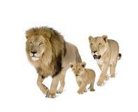 львев s семьи Стоковая Фотография