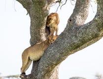 Львица взбираясь дерево Стоковая Фотография RF