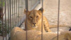 Львица внутри в клетке смотрит через aviary Львица отдыхает в aviary зоопарка, группе в составе львы отдыхая внутри сток-видео
