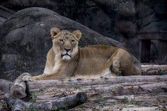 Львица вытаращить и сидя на утесе Стоковое Изображение