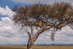 Львица в дереве, ландшафте Mara Masai Стоковое Изображение RF
