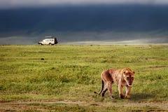 Львица в кратере Ngorongoro вышесказанного Танзания стоковая фотография rf