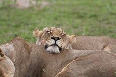 Львица в покое. Стоковое Изображение