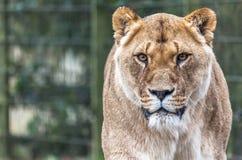 Львица в смеси Стоковые Фото
