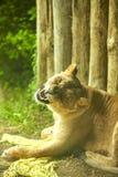 Львица в среднем зевке подвергая действию собачьи зубы пока лежащ на траве стоковое изображение rf