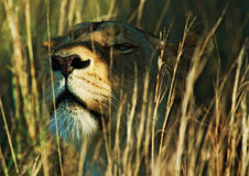 Львица в траве Стоковое Изображение