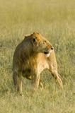 Львица в Masai Mara, Кении Стоковая Фотография