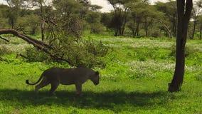 Львица в Ndutu видеоматериал