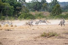 Львица гоня пакет зебры в Африке Стоковое фото RF